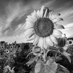 BWSunFlower.jpg