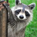 Inquisitive Racoon