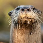 close up of wet otter