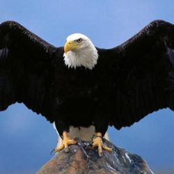 Bald Eagle perched on rock
