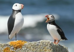Kress Puffins standing on rock