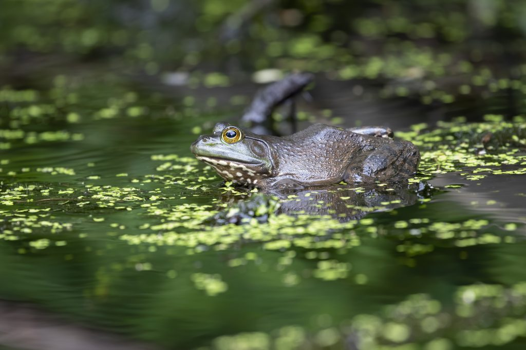 Animals Other Than Birds Honorable Mention Bullfrog By Earl Blansfield