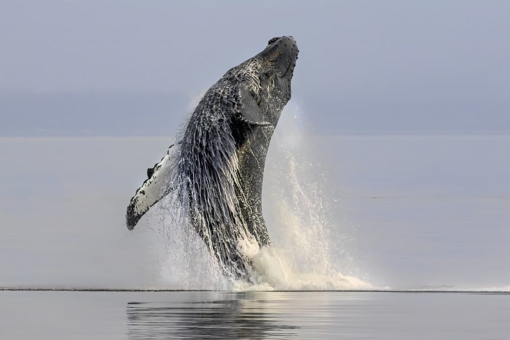 Animals Other Than Birds Third In Category Explosive Humpback Breaching By Dee Langevin