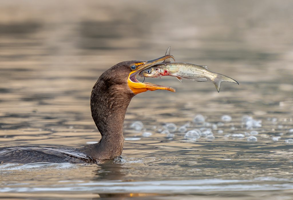Birds - Honorable Mention - Catfish Dinner by Jerry amEnde