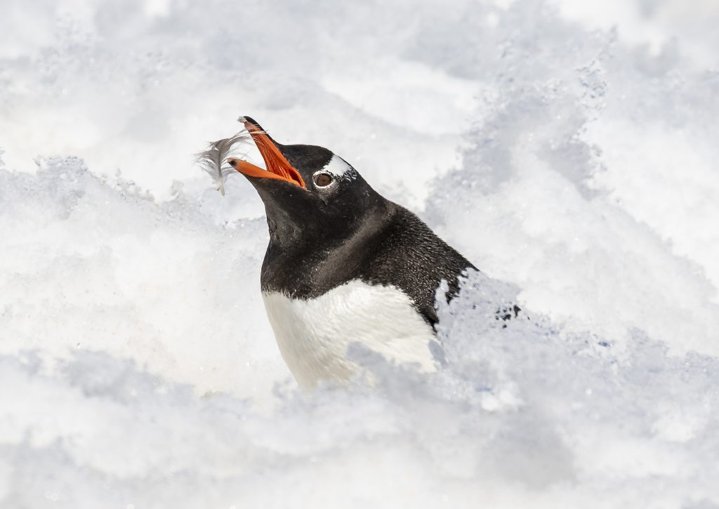 Birds Honorable Mention Gentoo Penguin Preening By Dee Langevin