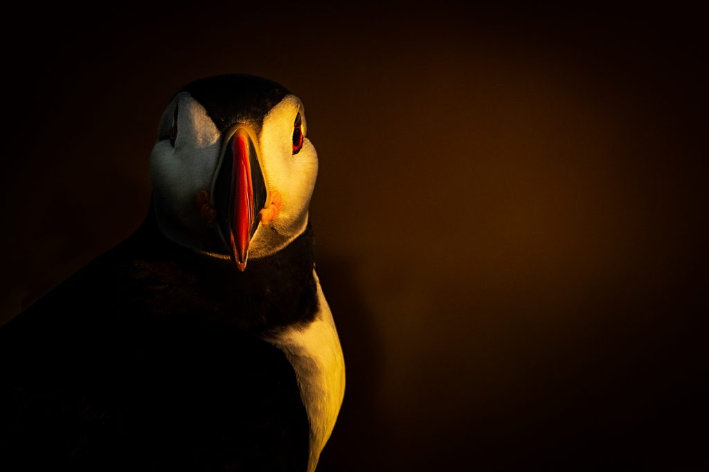 Birds Second In Category Puffin Side Lit By Late Evening Sun Skomer Island By Kevin Pigney