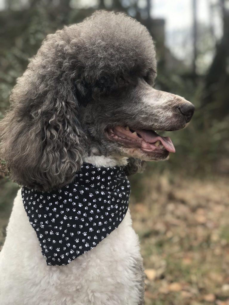Youth Photography Honorable Mention Portrait Photography Poodle In The Woods By Nicholas Hitch