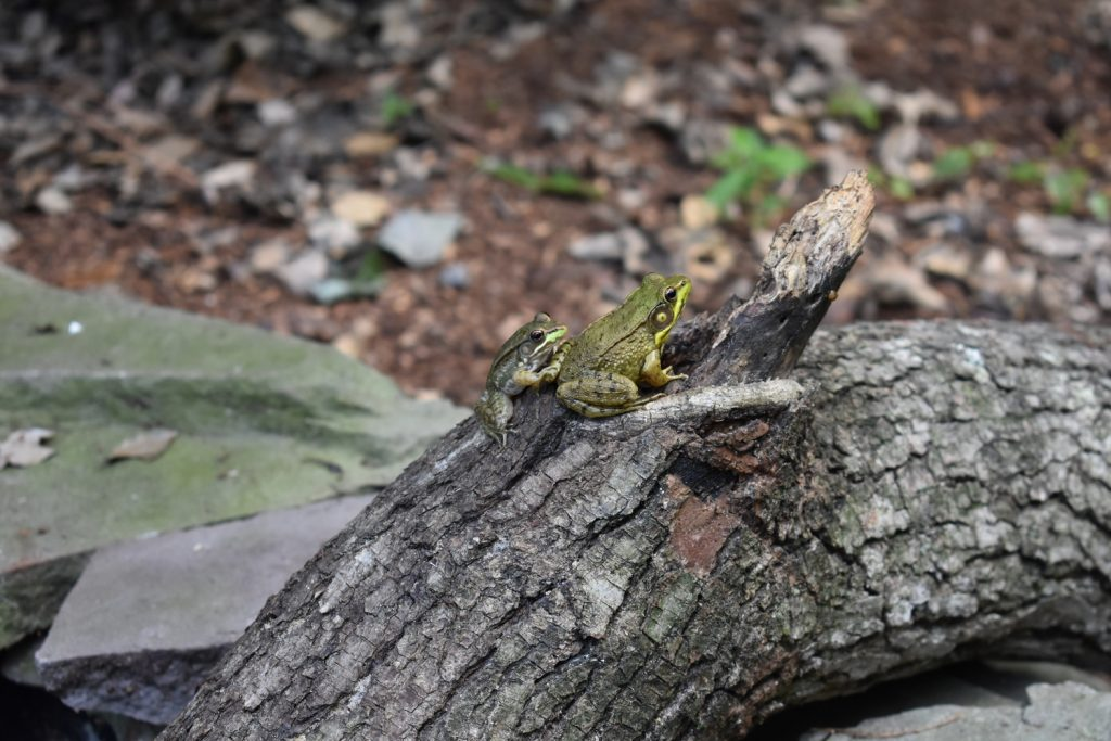 Youth Photography Second In Division Animals Other Than Birds Frog Buddies By Summer Hindt