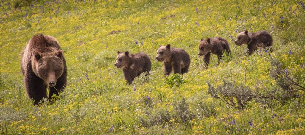 Youth Photography Third In Division Animals Other Than Birds Grizzly 399 And Her Quadruplets By Alex Nelson
